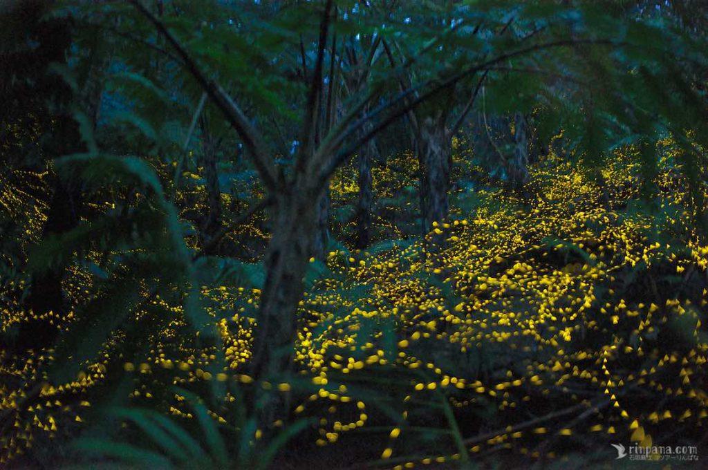 ishigakijima-firefly-rinpana-1